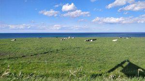 オホーツク海と牛